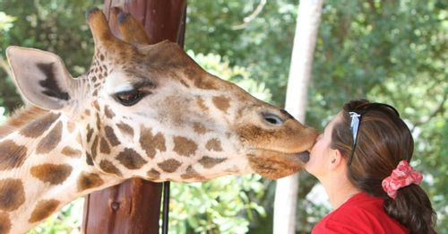 Kiss a Giraffe at the Nairobi Giraffe Centre, Kenya