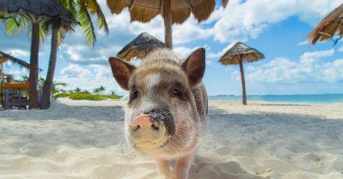 Visit Pig Beach
