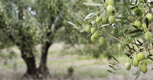 Immerse Yourself in Cypriot Culture at an Olive Farm
