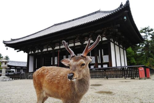 Feed the deer free-roaming in Nara Deer Park