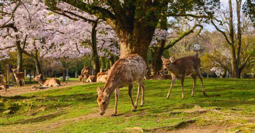 Feed the deer free-roaming in Nara Deer Park