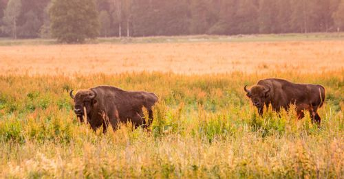 Go for an adventure inside the Belovezhskaya Pushcha National Park for a chance to see the European Bison