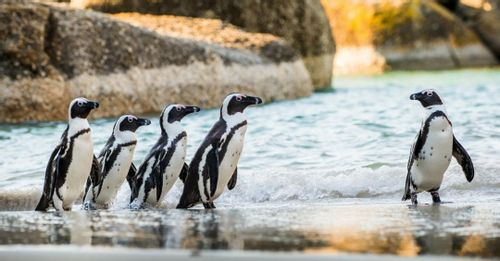 Watch the Penguins at Boulders Beach