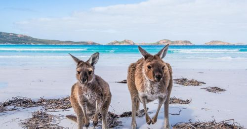 Pet Kangaroos and other native Australian wildlife on Kangaroo Island